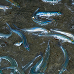 Birch Aquarium Presents: Grunion Runs