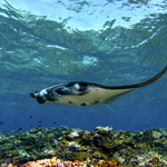 Perspectives Lecture: Amazing Mantas